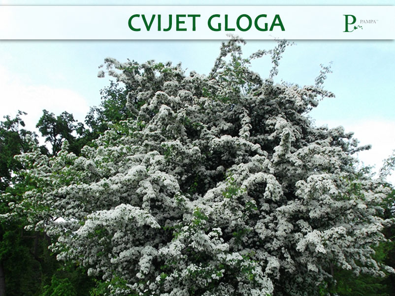 Glog ljekovita biljka koja je sastavni dio biljnog čaja tlačko