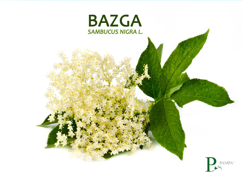 Cvijet bazge ljekovita biljka sastavni dio naših Pampa biljnih čajeva